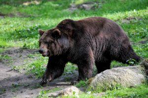 Meglátogatott a medve