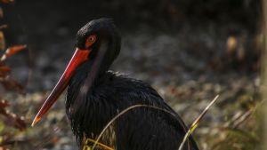 Üresen áll a fekete gólyák fészke
