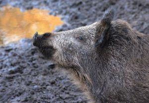 A medve mellett a vaddisznó sem játék