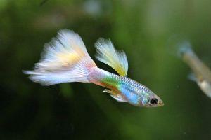 Kezdő akvaristák kedvence