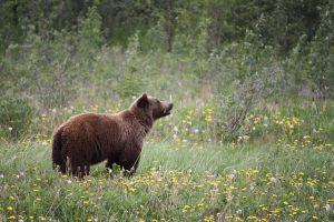 Medvék jelenben, medvék Nógrádban