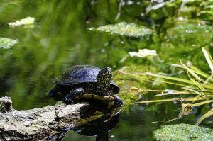 Visszatért a mocsári teknős