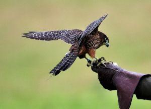Vadászat madár segítséggel